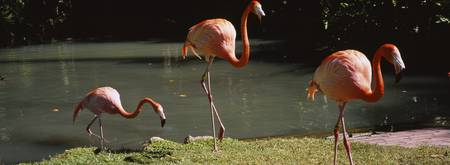 Three flamingos foraging by a pond
