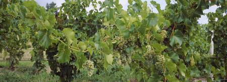 Bunch of grapes in a vineyard