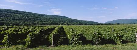 Panoramic View Of A Vineyard