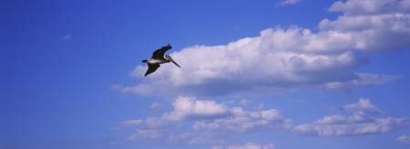 Low angle view of a Brown pelican (Pelecanus occi