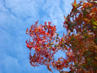 Autumn Leaves Blue Sky White Clouds art trees