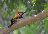 goldenbacked-woodpecker