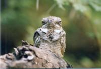 LONG-TAILED-NIGHTJAR