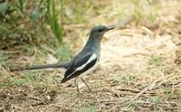 magpie-robin-female