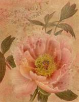 peony-pink-mottled