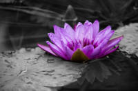 Purple Water Lily 002 Black and White Background