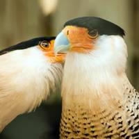 two crested caracara bird cleaning each other