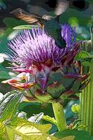 HUMMER ON ARTICHOKE FLOWER