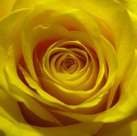 Beautiful, Yellow Rose Bloom