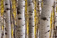 Aspen Trunks 2 by David Kocherhans