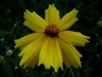 True Yellow Coreopsis
