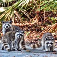 Mama Raccoon & Babies by Barbara Wilford Gentry