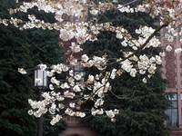 Campus Cherry Blossoms with Lamp