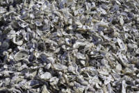 Shucked Oyster Shells