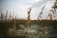 Sea Oats on the St. George Island Dunes