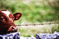 Cow and Barbed Wire