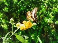 Yellow Swallowtail on Yellow Lantana