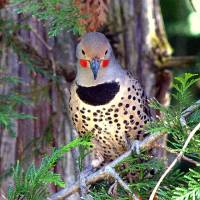 """Red Shafted  Northern Flicker"" by mdohnalek"