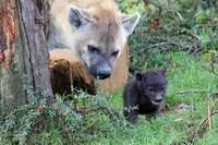 spotted hyena and baby