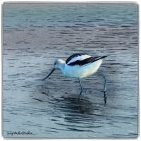 Elegant Pied Avocet by Giorgetta Bell McRee