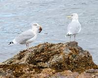 Two Gulls and a Crab