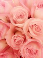 a bed of pink roses is just what the lady ordered