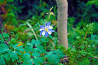 Forest Columbine