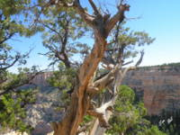 Trees on the Edge of Grand Canyon 0005