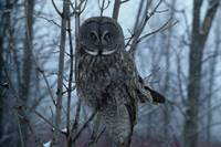 In The Sights - Great Gray Owl