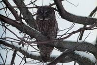 Perched - Great Gray Owl