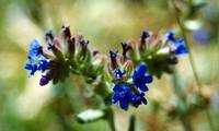 anchusa_officinalis_2