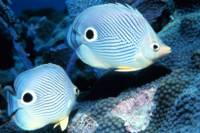 Foureye butterflyfishes