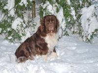 Newfie By Snowy Pines