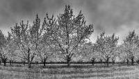 michigan.tc.cherryblossoms.BW