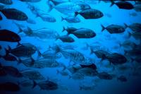 School of Jack Fishes