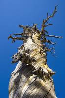Skeletal Tree with Blue Sky