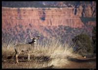 Smith's Mesa Mulie