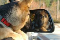 Dog Reflection