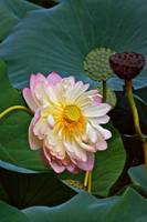 Lotus--Summer Beauty