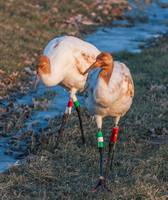 Juvenile Whooping Cranes