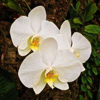 Orchid After Rain