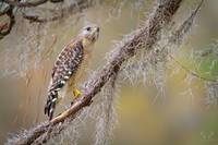 Red-shouldered Hawk 1469