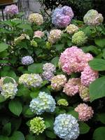 Colorful Hydrangeas