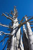Three Skeletal Trees with Blue Sky