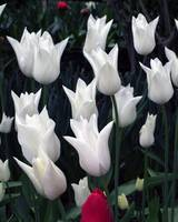 White Tulips & A Tinge of Red