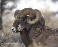Big Horn _MG_0405.2Rams