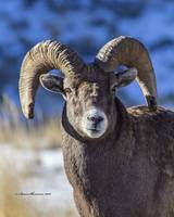Big Horn Sheep_MG_1091.Ram head