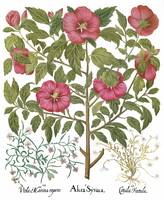 Besler Botanical Plate 041: Mixed Plants