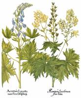 Besler Botanical Plate 046: Mixed Plants