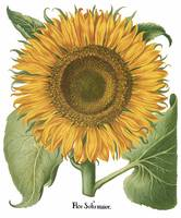 Besler Botanical Plate 066: Sunflower